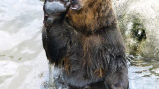 クマと警察の挟み撃ちされて逮捕!!