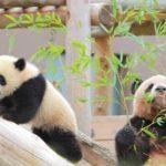 パンダの赤ちゃん シンシンおめでとう!!